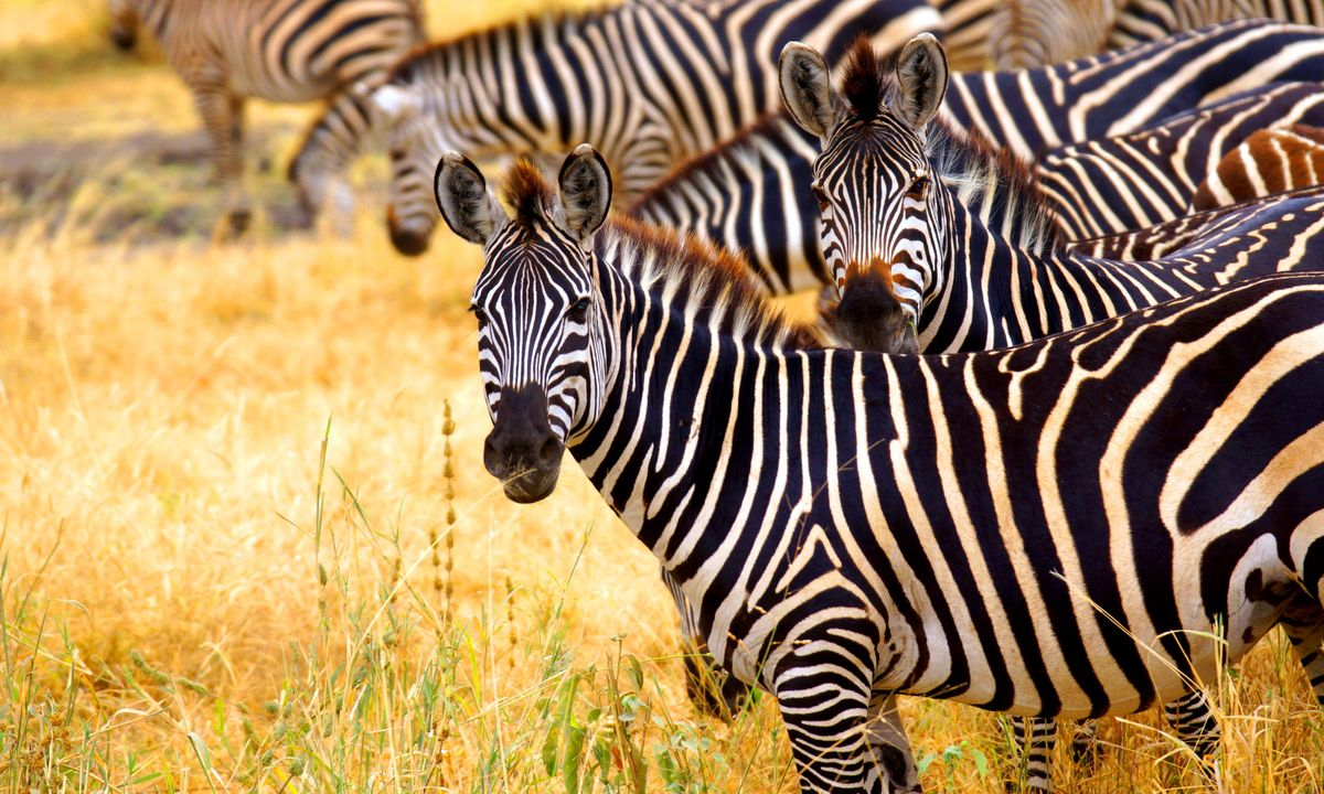 Zebra form herds known as a zeal (Shutterstock)
