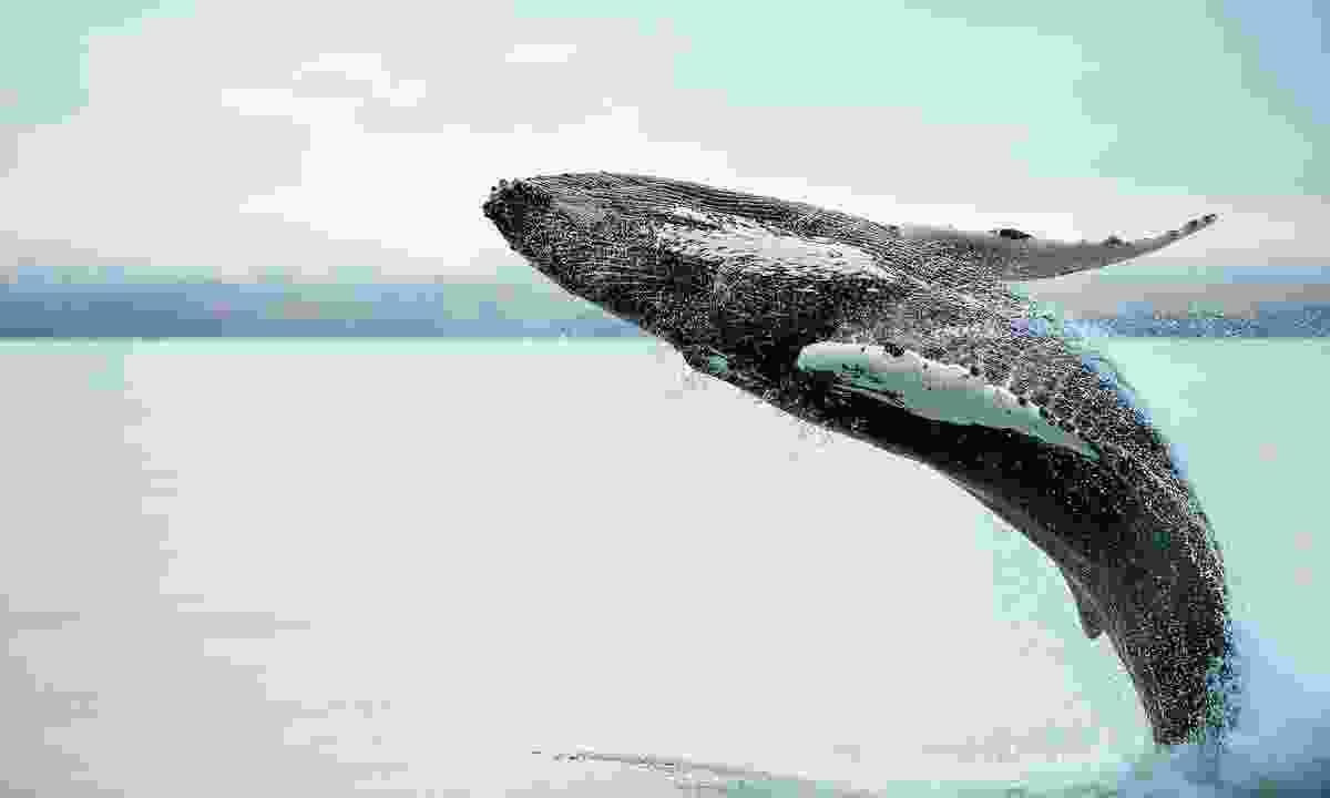 Humpback whale breaching in Húsavík, Iceland. (Shutterstock)