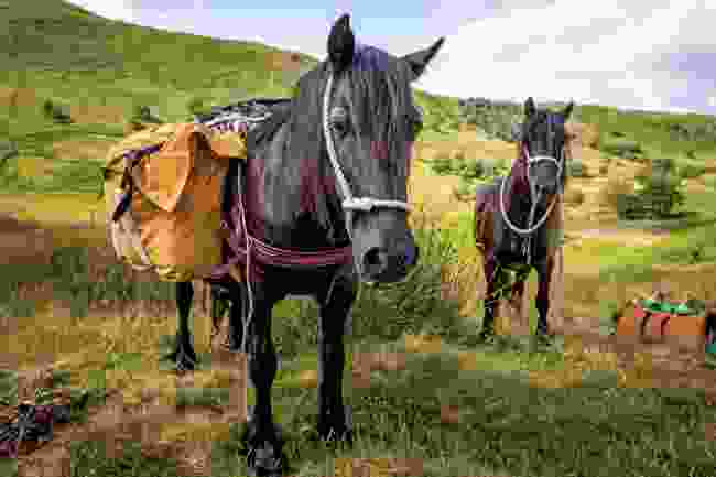 Fell ponies munch their way through the scenery (Graham Wynne)