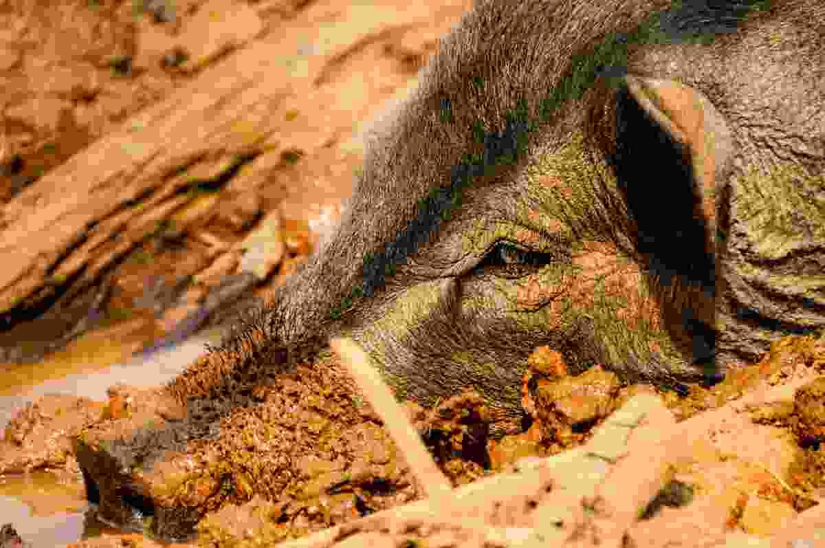 Wild boar in the mud (Dreamstime)