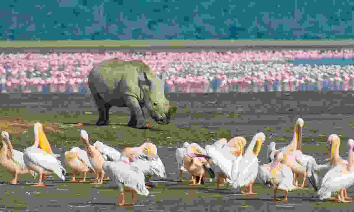A rhino in Lake Nakuru National Park (Dreamstime)