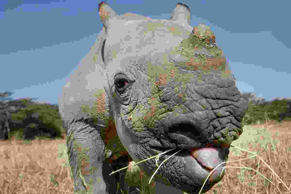 Black rhino, Lewa Wildlife Conservancy, Kenya (Photo © 2018 Michael Poliza)
