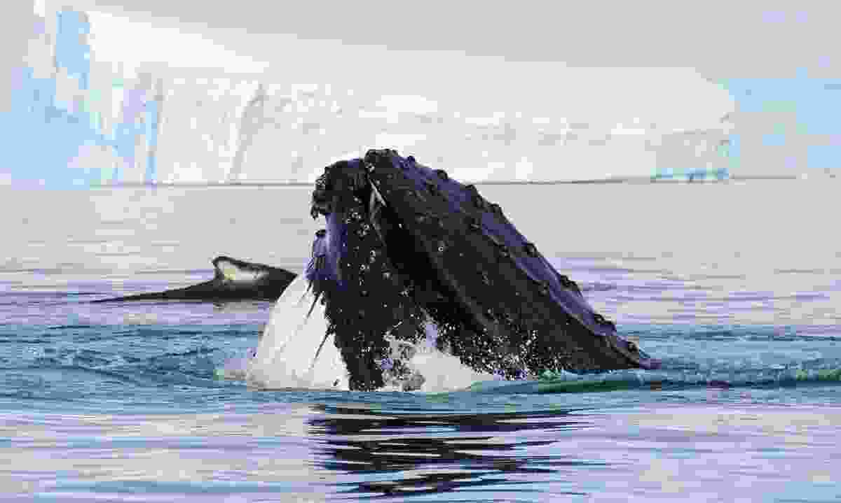 Whale in the Weddell Sea, Antarctica (Dreamstime)