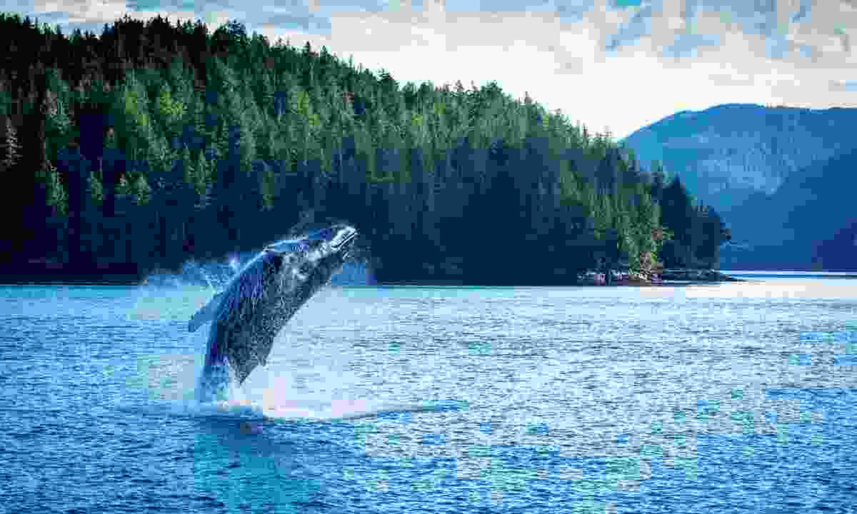 A humpback breaches the waters (Spirit Bear Lodge/Cael Cook)