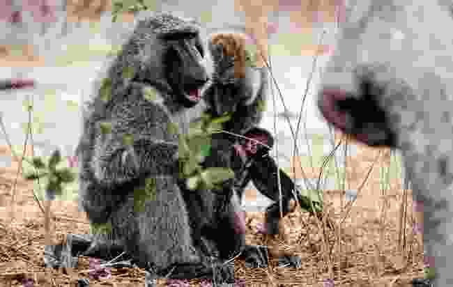Olive baboon (Mark Stratton)
