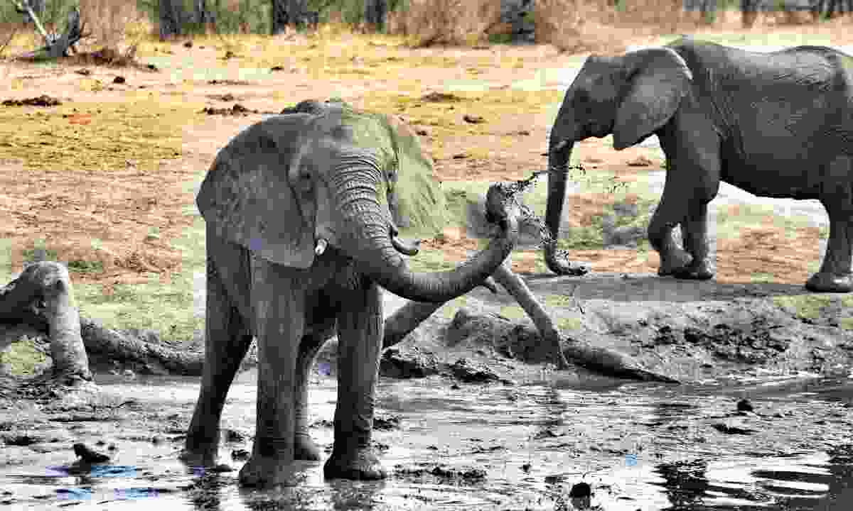 Elephants at one of the controversial boreholes that are often credited with helping turn Hwange NP into a success (Mark Eveleigh)