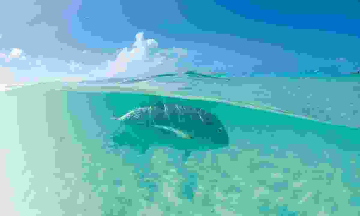 Giant trevally lurking in the Seychelles (Dan Beecham)