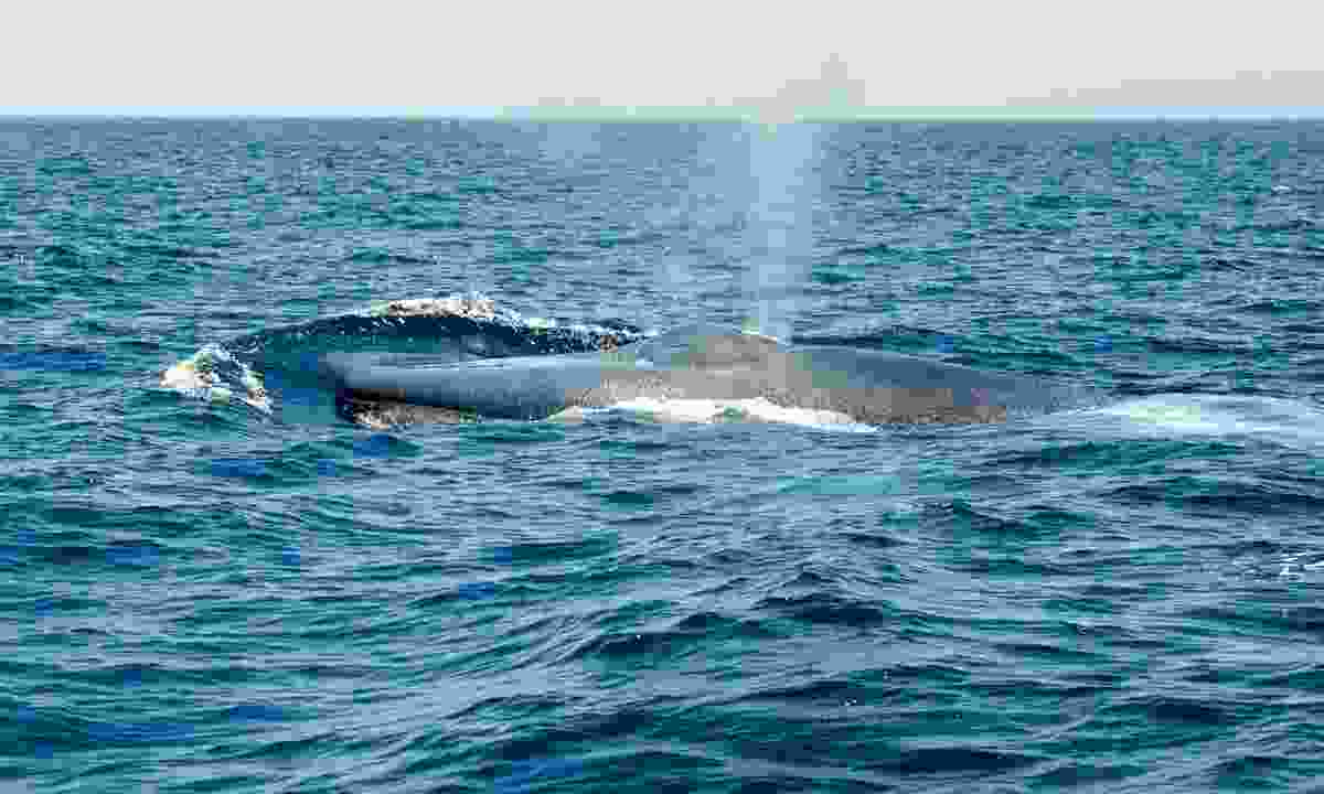 Blue Whale off Dana Point in California (Dreamstime)