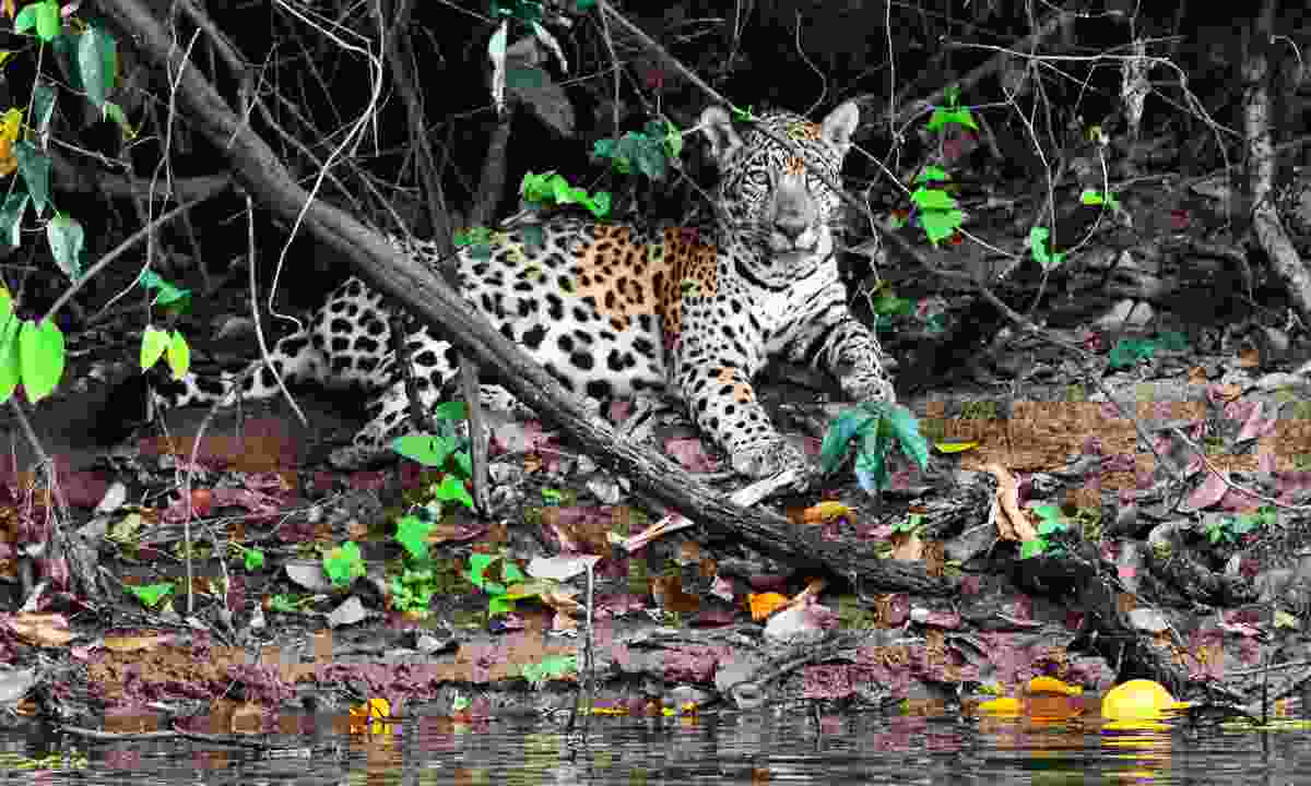 A jaguar in the jungle (Dreamstime)