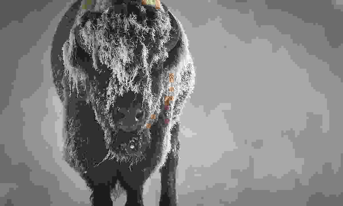A bison stands in the snow in Yellowstone National Park (Dreamstime)