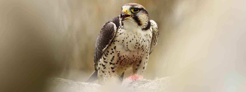 Falcon in the Czech Republic (Dreamstime)