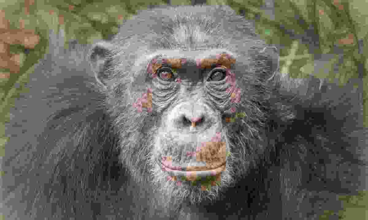 Alpha male chimp in Rwanda (Shutterstock)