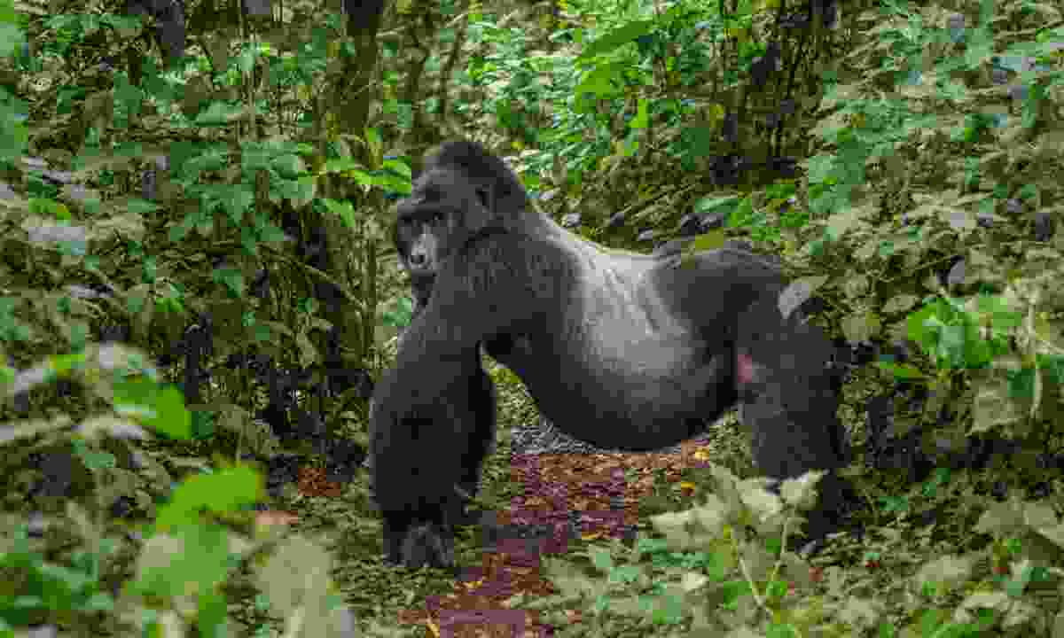 A dominant mountain gorilla in Bwindi Impenetrable National Park (Dreamstime)
