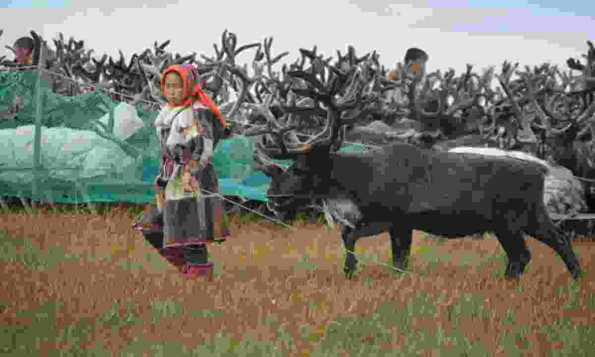 The young Nenet leads to harness the reindeer (Dreamstime)