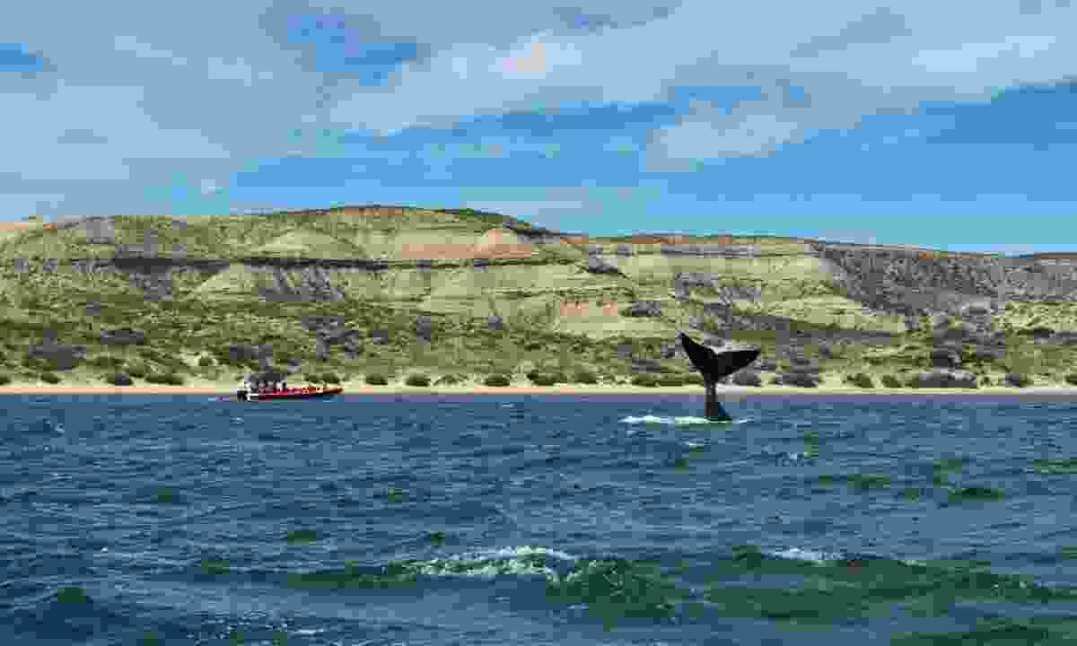 Southern right whale in Valdes Peninsula, Argentina (Dreamstime)