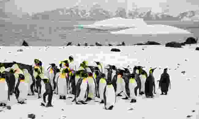 A huddled group of king penguins against the backdrop of a snowy South Georgian bay. (Dreamstime)