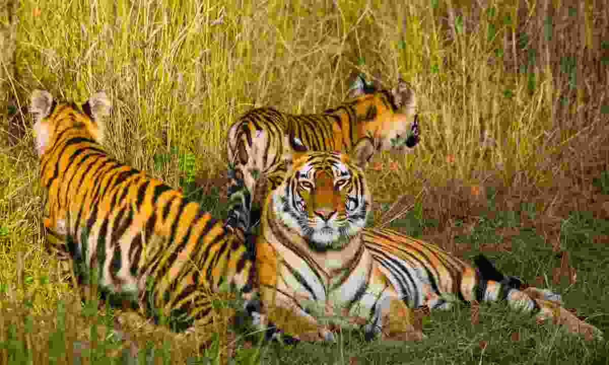 A mother and her cubs laying in the grass at Bandhavgarh National Park (Dreamstime)