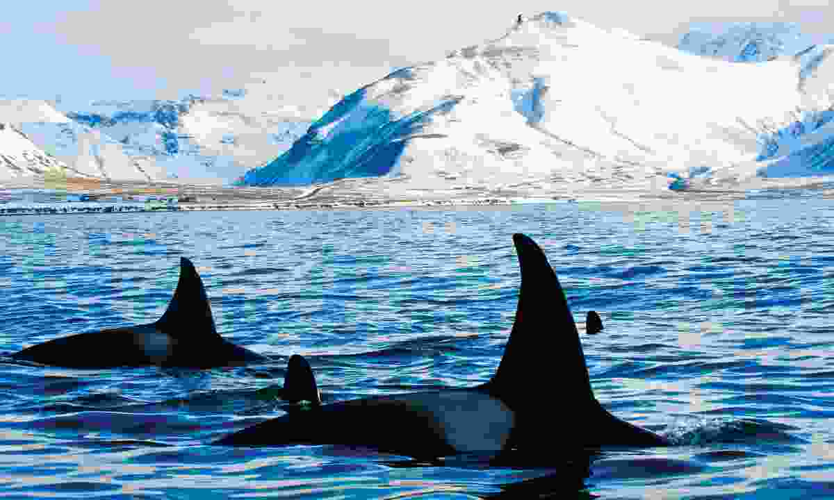 Spot orcas off the coast of Iceland (Discover The World)