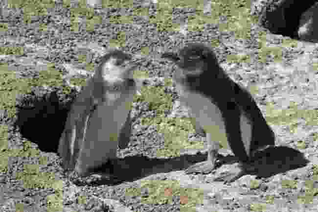 Magellanic penguins (Dreamstime)