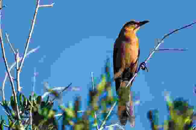 One of the many birds in Celery Fields wetlands, near Sarasota, Florida (Phoebe Smith)