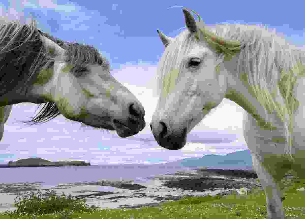 Ponies at Gallanach Bay, Isle of Muck (Ben Osborne)