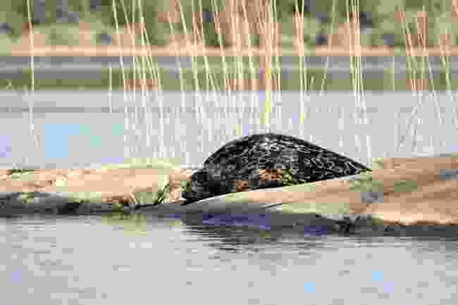 A rare glimpse of the Saimaa ringed seal (Visit Saimaa)