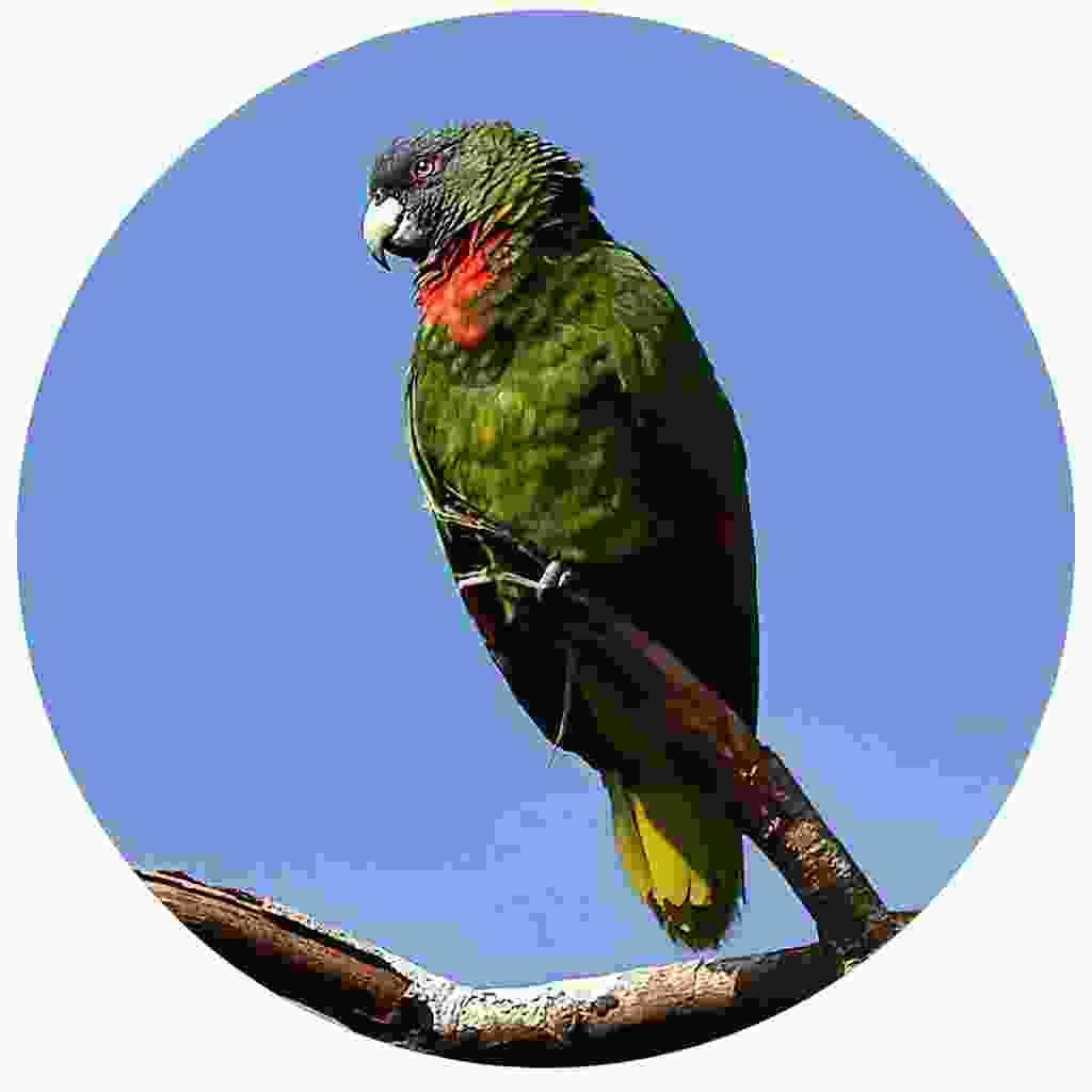 The colourful red-necked parrot