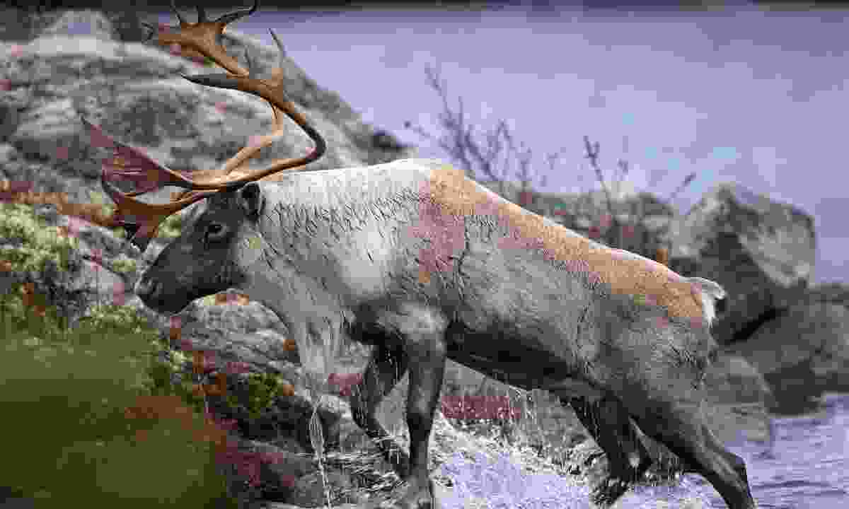 Seek out wildlife such as caribou  (Shutterstock)