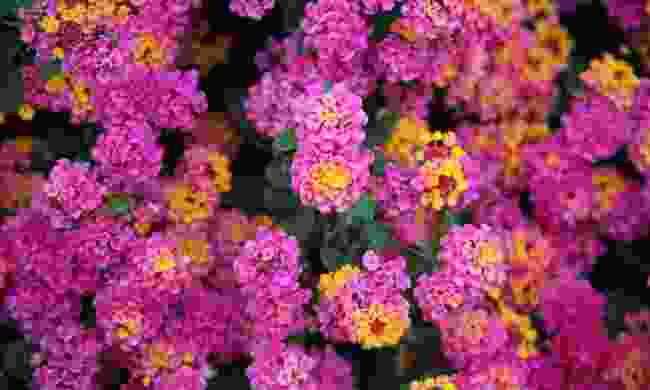 Brightly-coloured lantana flowers are coming back after the fires, providing cover for mammals in Australia (Shutterstock)