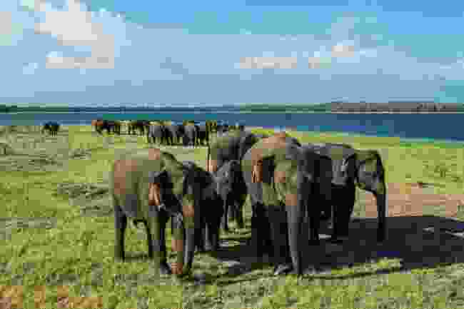 Asian elephants gather in Minneriya National Park, Sri Lanka (Shutterstock)
