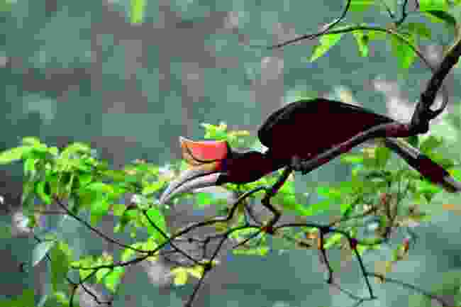 Keep your eyes peeled for the rhinoceros hornbill (Sarawak Tourism Board)