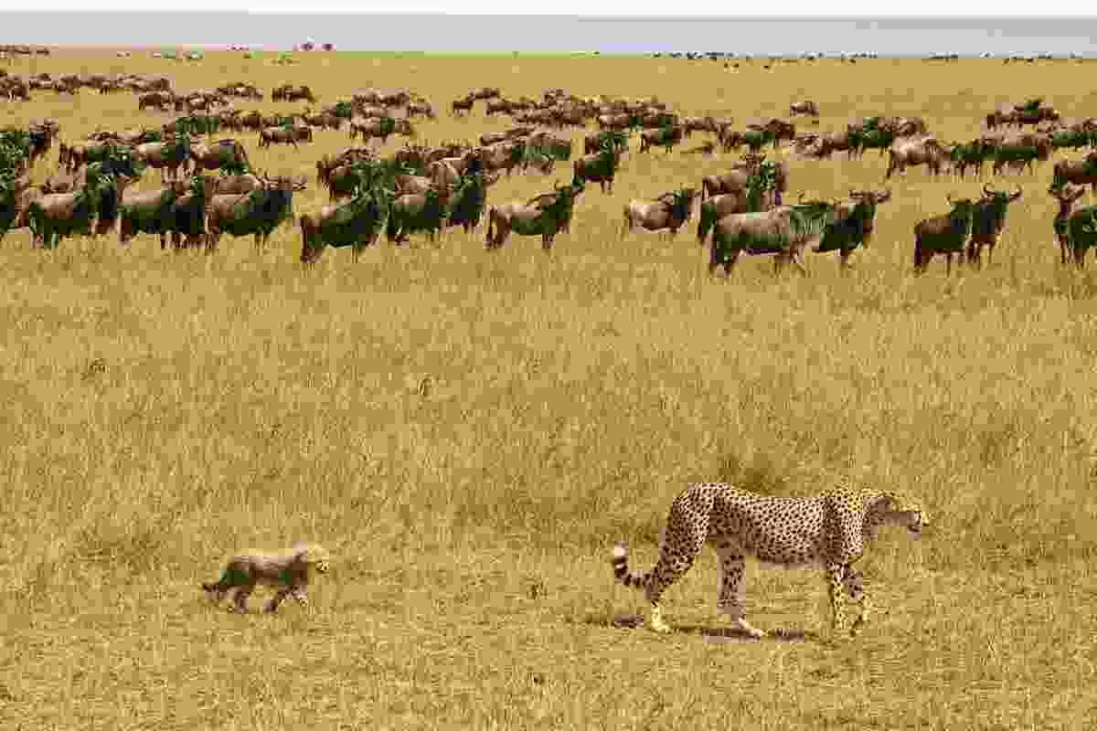 Cheetahs passing herd of wildebeest, Amboseli, Maasai Mara, Kenya (Photo © 2018 Michael Poliza)