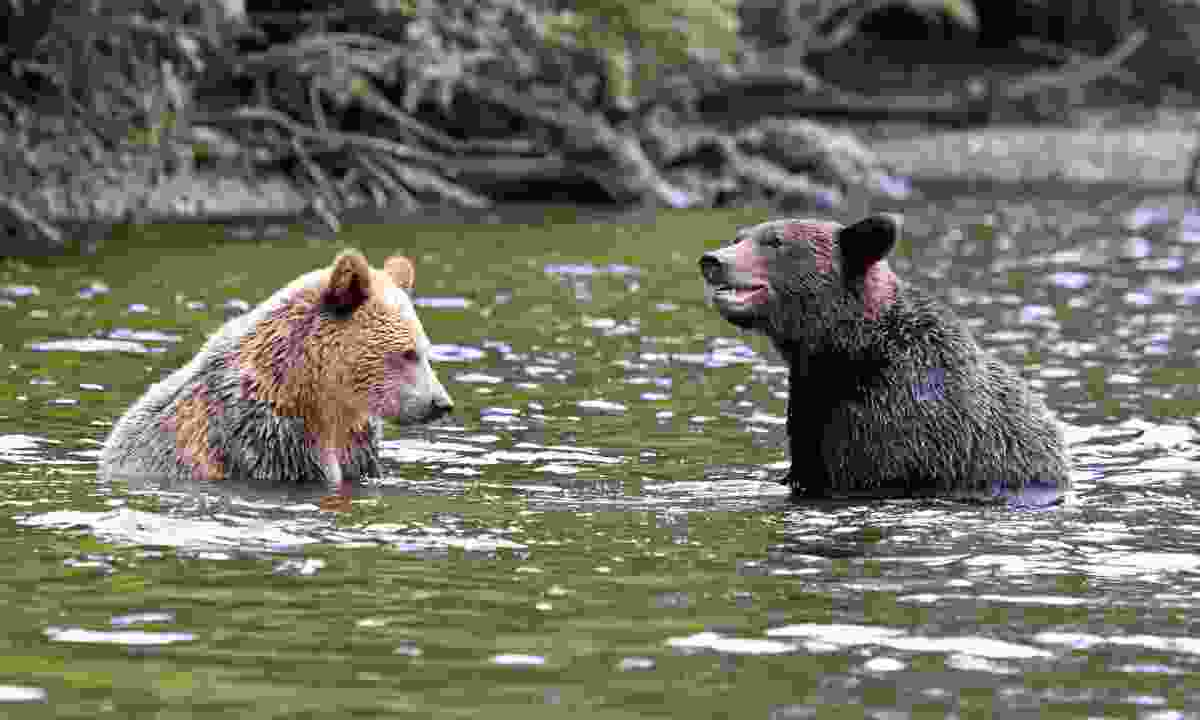 Grizzlies hanging out in Knight Inlet (Dreamstime)