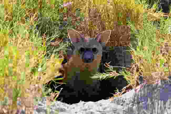 An aardwolf in Botswana (Dani Free/Wildlife Worldwide)