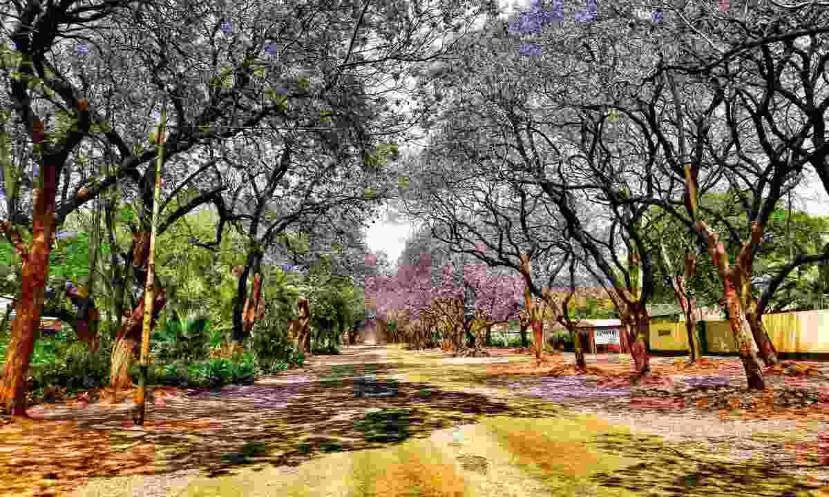 Jacarandas shed over the path (Mark Eveleigh)