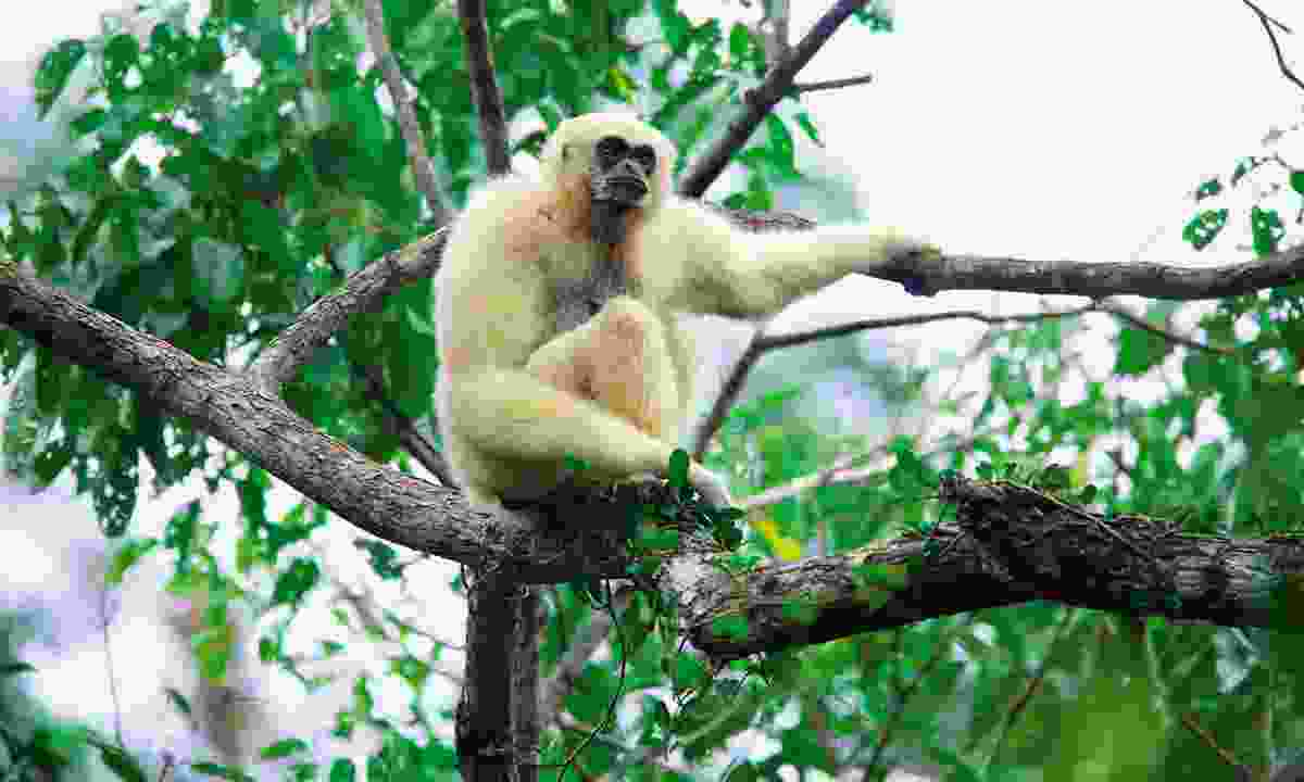 A white-handed gibbon (Dreamstime)
