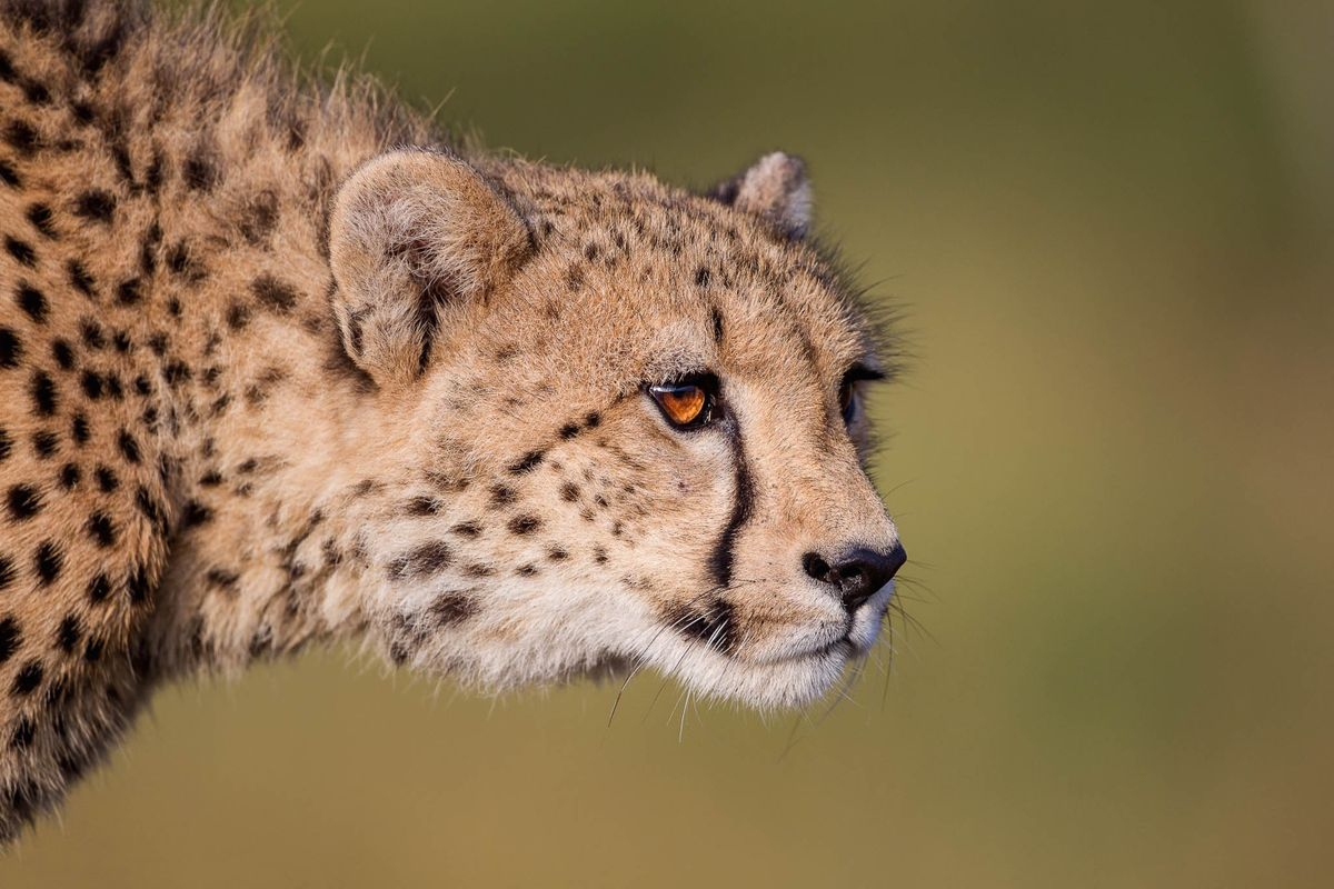 Prowling cheetah in South Africa (Andrew Schoeman)
