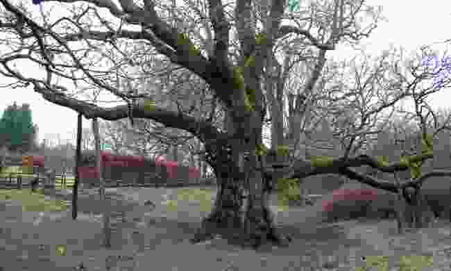 Birnam Oak (Creative Commons: W. L. Tarbert)
