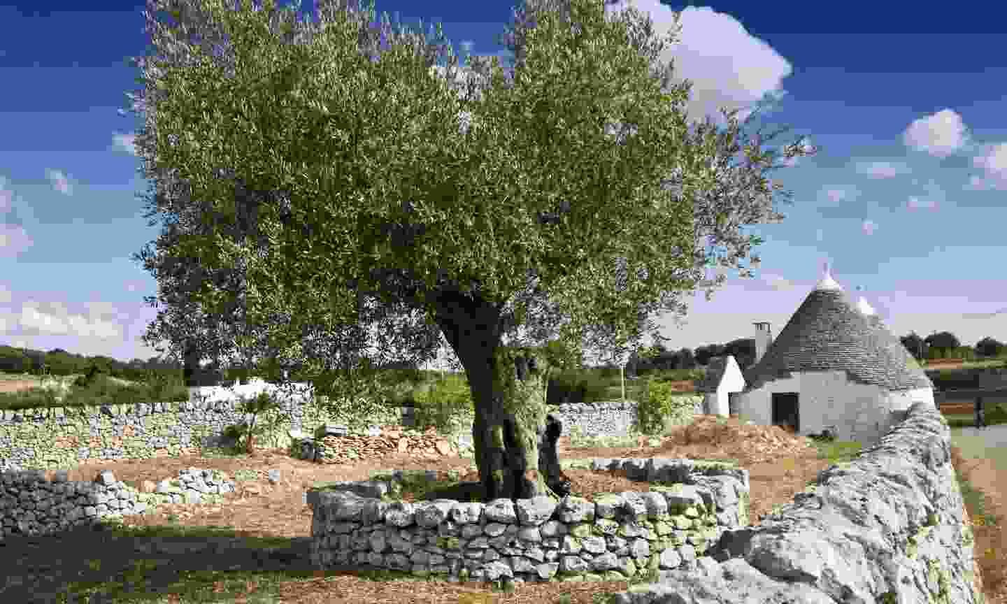 An ancient olive tree in Apulia (Dreamstime)