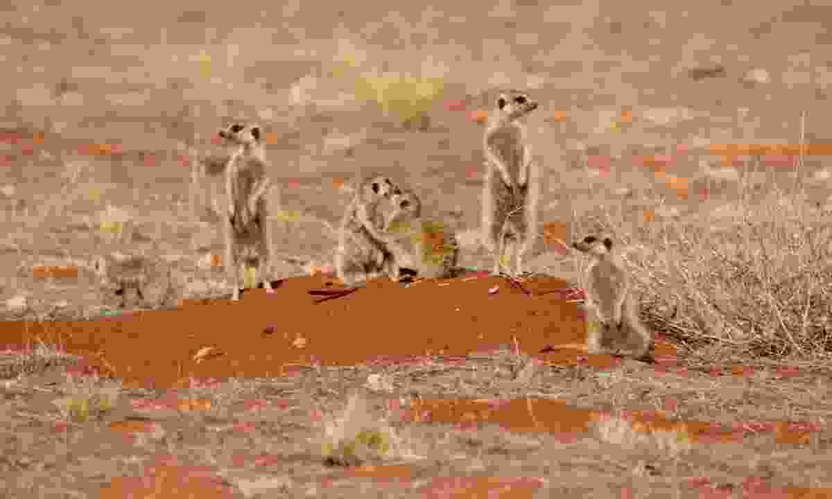 A family of Meerkats on the lookout in the Kalahari  (Dreamstime)