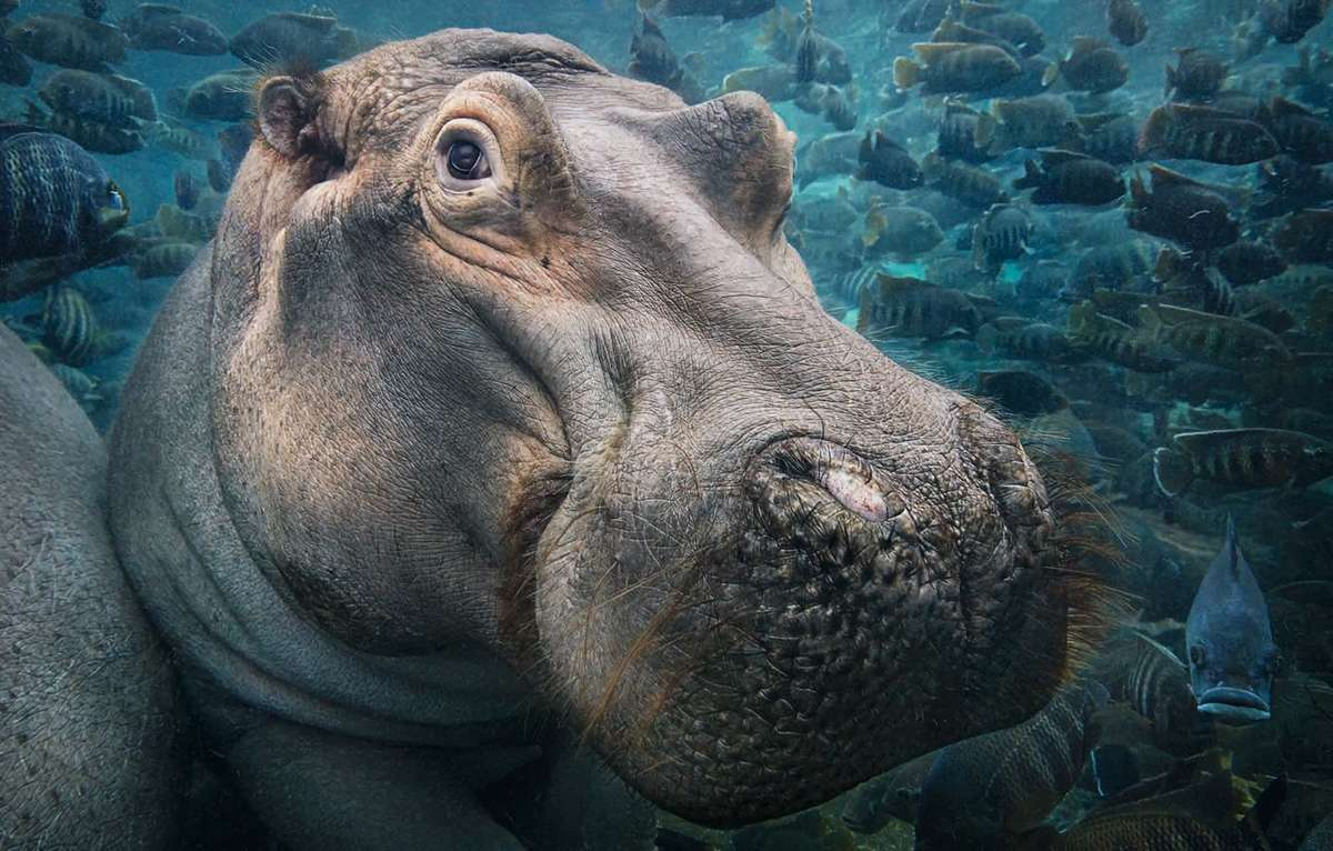 A hippopotamus under water (©Tim Flach)