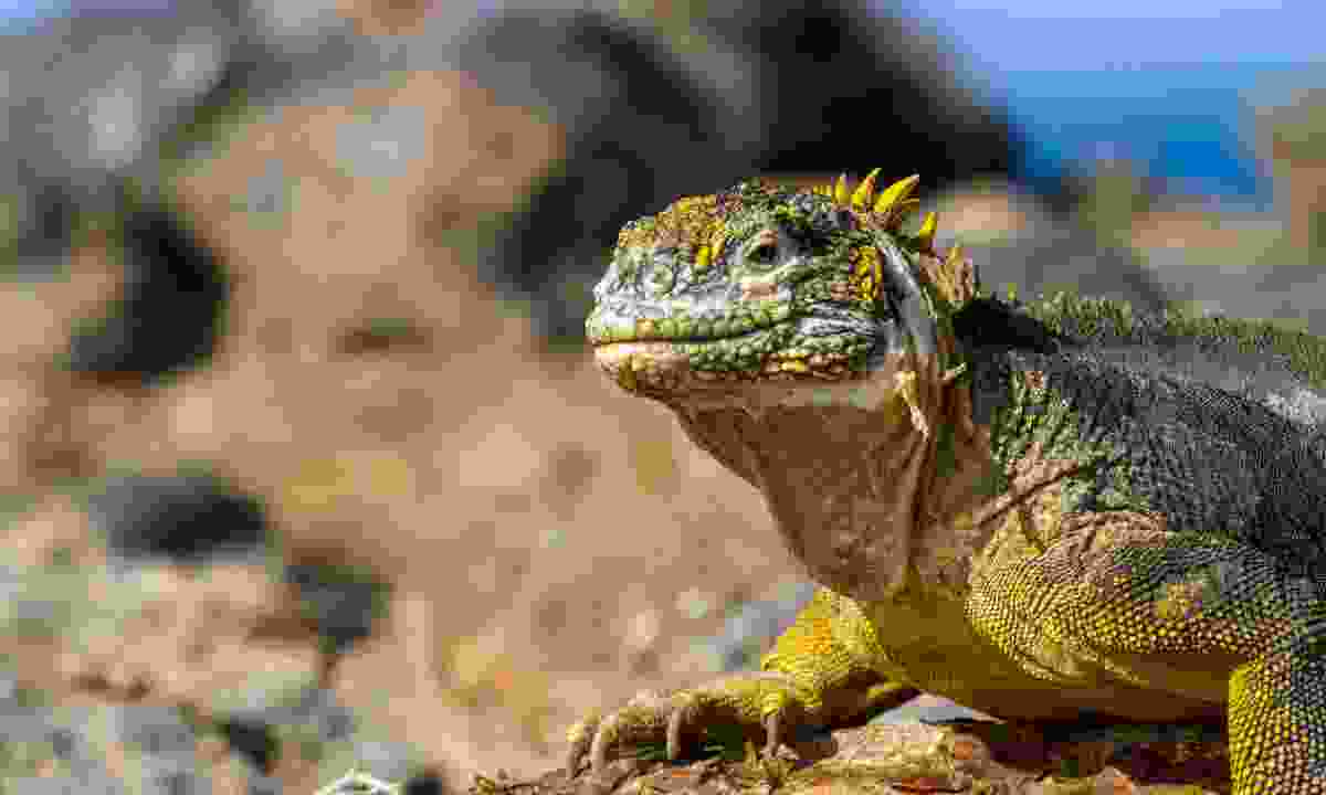 A lizard on a Galápagos isle (Dreamstime)