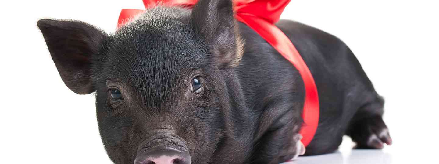 Gift-wrapped pig (Dreamstime)