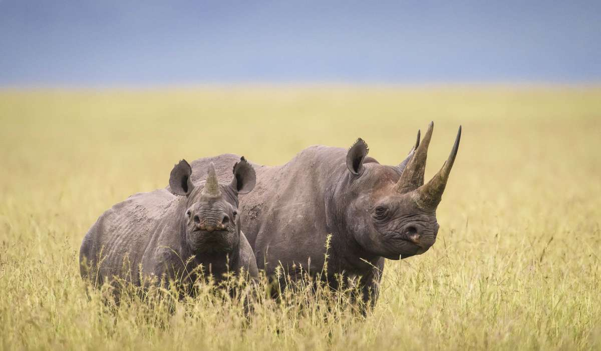 Black rhino in Kenya (Margot Raggett)
