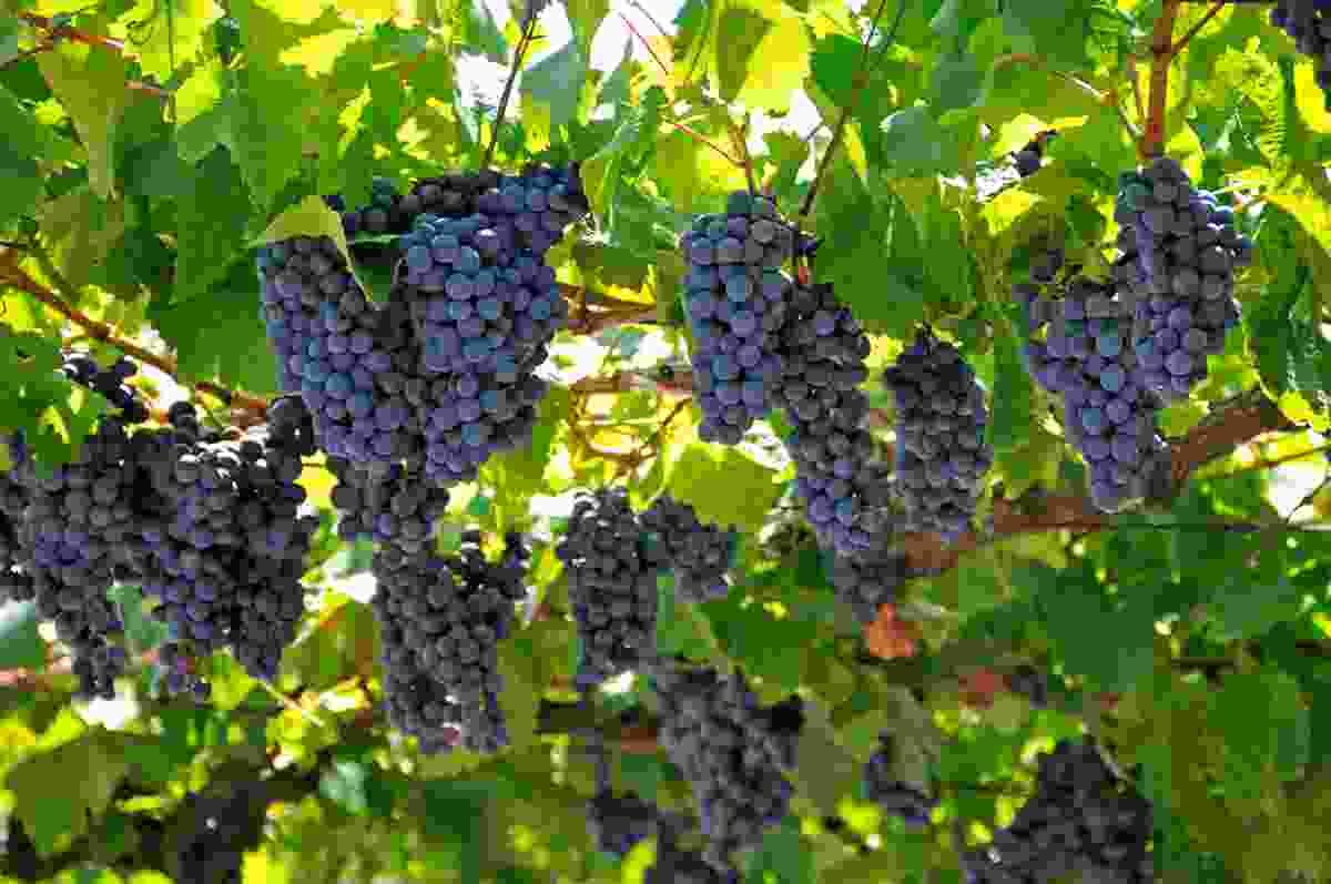 A vineyard in Montenegro (Shutterstock)