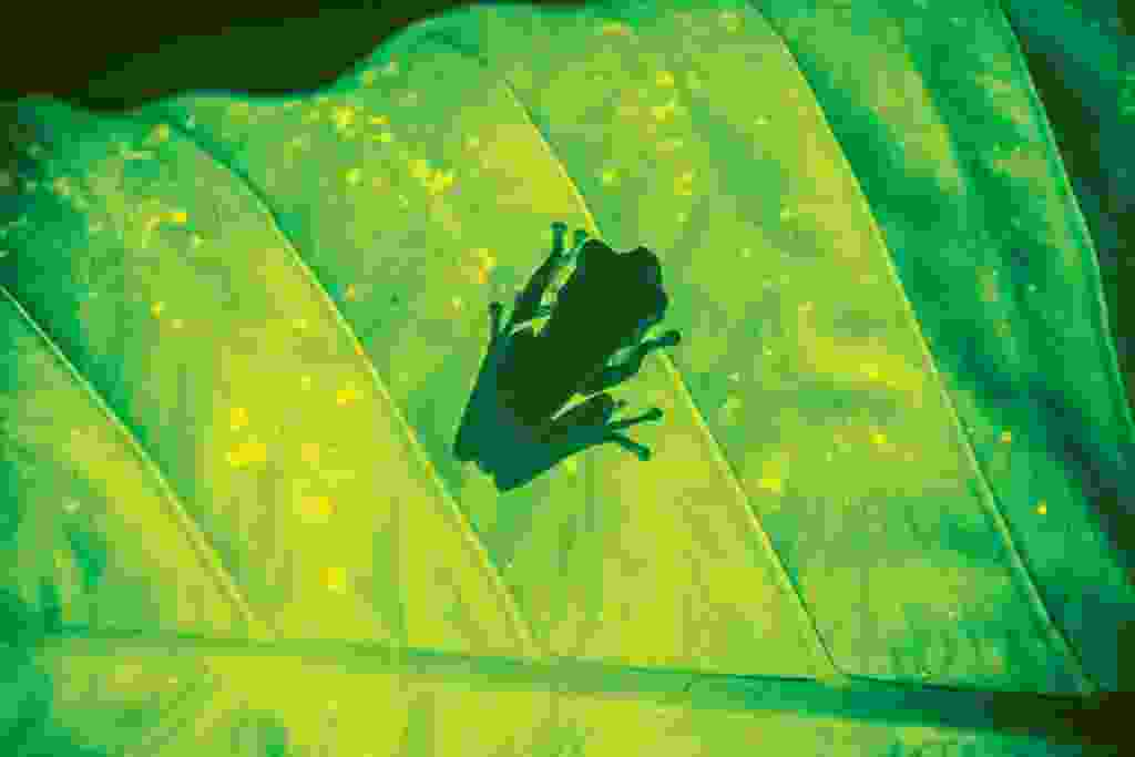 An illuminated tree frog (Mark Stratton)