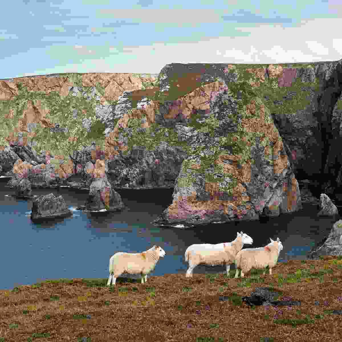 Sheep on Arranmore Island (Tourism Ireland)