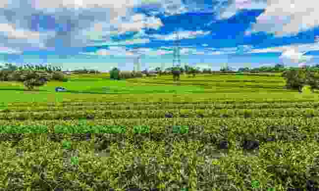 Tea fields in Guanxi Township (Shutterstock)