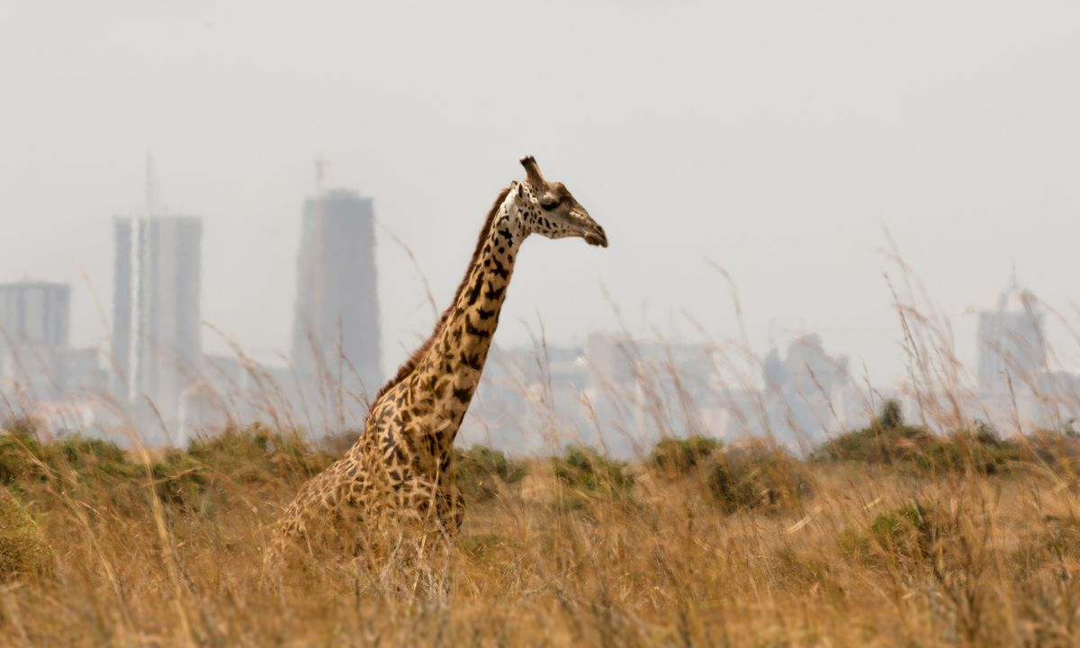 Spot giraffe against a backdrop of skyscrapers (Shutterstock)