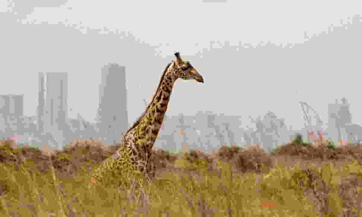 Spot giraffe against a backdrop of skyscrapers (Shutterstock)